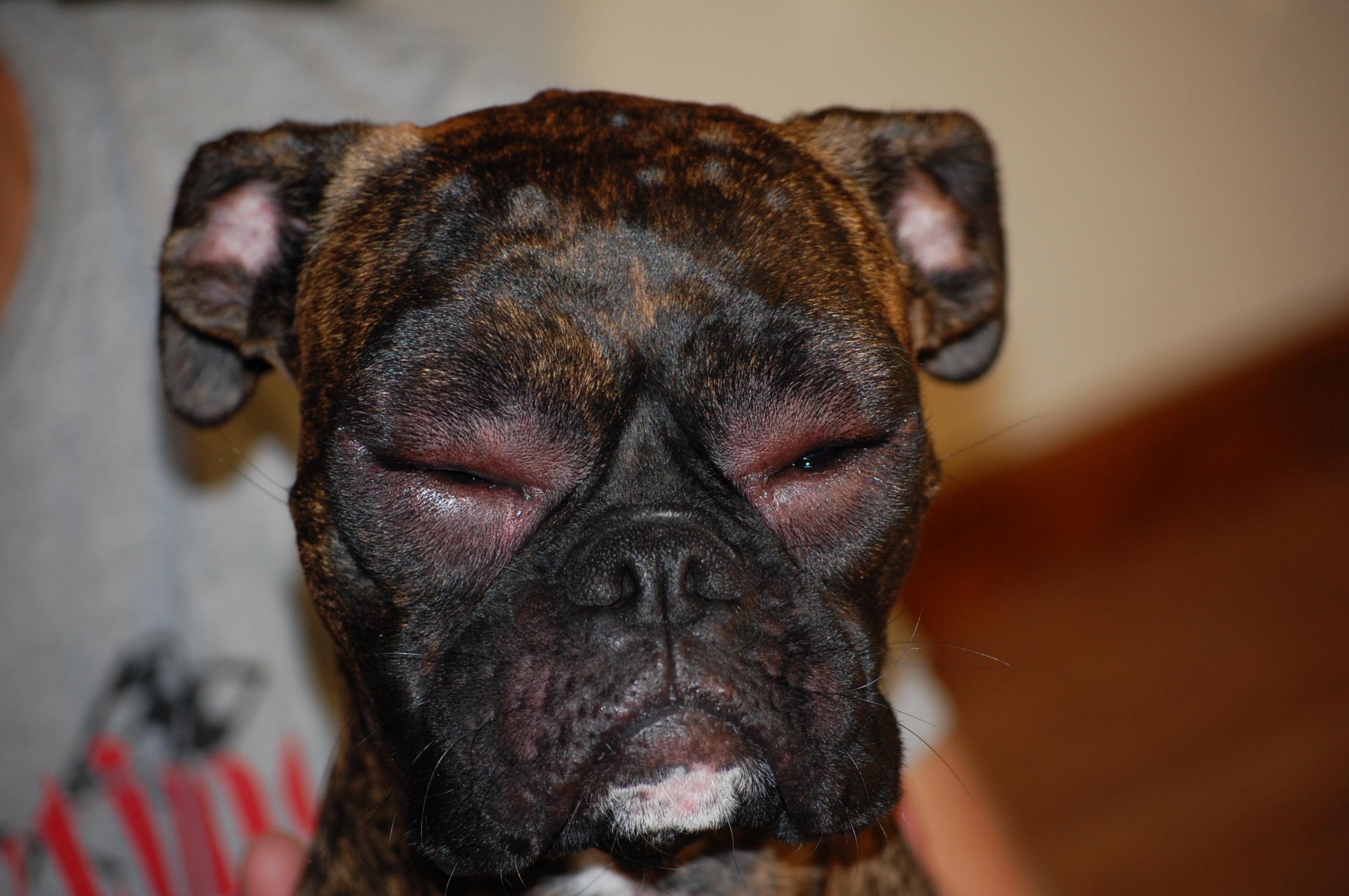 My Dogs Eye Is Swollen Shut