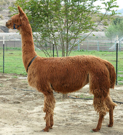 Marmi one of my alpacas, NOT a llama.